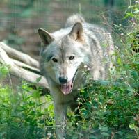 【動物占い】ネアカの狼の性格・相性・恋愛は?2020年の運勢も!