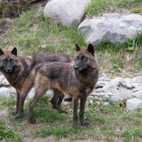 【動物占い】順応性のある狼の性格・相性・恋愛は?2020年の運勢も!