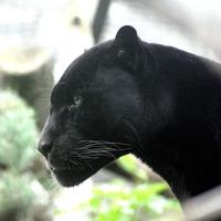 【動物占い】束縛を嫌う黒豹の性格・相性・恋愛は?2020年の運勢も!