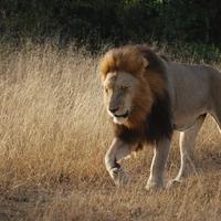 【動物占い】我が道を行くライオンの性格・相性・恋愛は?2020年の運勢も!