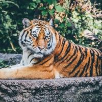 【動物占い】ゆったりとした悠然の虎の性格・相性・恋愛は?2020年の運勢も!