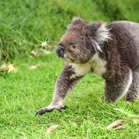 【動物占い】フットワークの軽いコアラの性格・相性・恋愛は?2020年の運勢も!