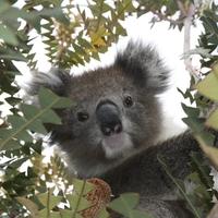 【動物占い】サービス精神旺盛なコアラの性格・相性・恋愛は?2020年の運勢も!