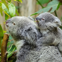 【動物占い】母性豊かなコアラの性格・相性・恋愛は?2020年の運勢も!