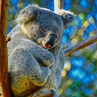 動物占い「コアラ」の性格って?合う・合わない動物はこれ!